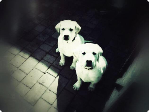 Две удивительных собачки, близнецы